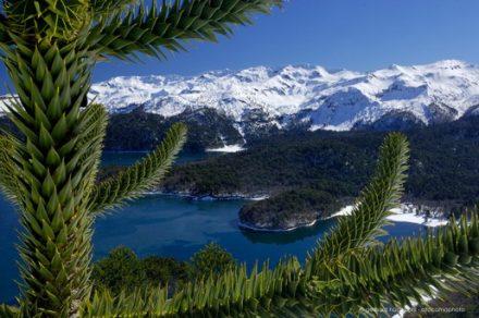 Araucaria tree and Sierra Nevada in winter, Conguillio National Park