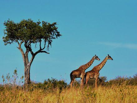 Girafe tanzania